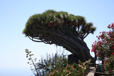 Old Dragon Tree