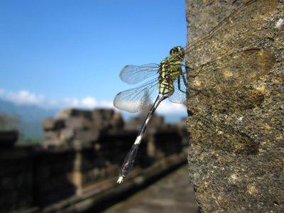 Libelle bei Borobudur