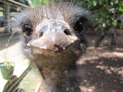 Emu Close-up