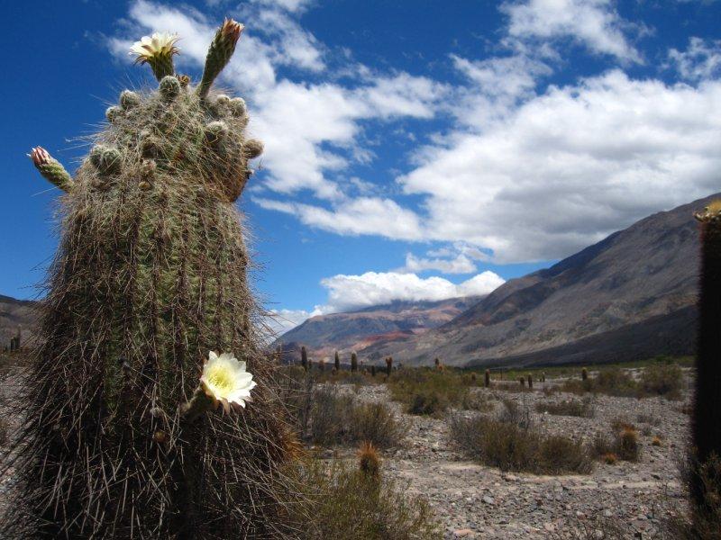 Kakteen bluehen in der Quebrada de Humahuaca