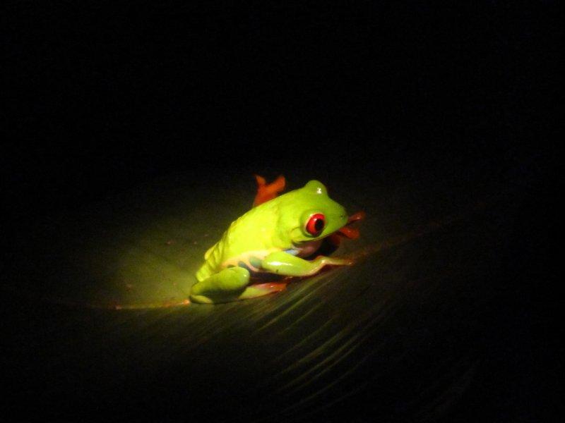 Rotaugenfrosch im Ranarium