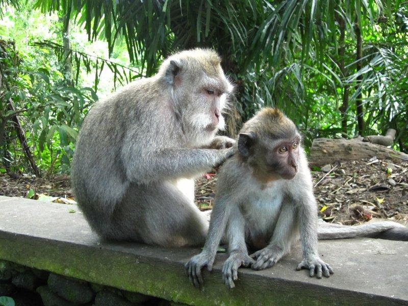 Affen im Monkey Forest