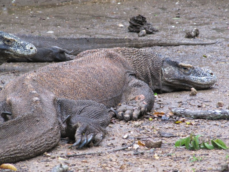 Faulenzende Komodo Dragons