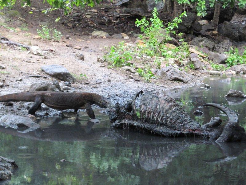 Komodo Dragon auf dem Weg zum Mittagessen