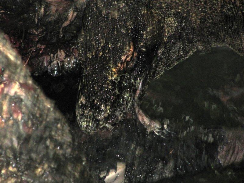 Komodo Dragon beim Fressen