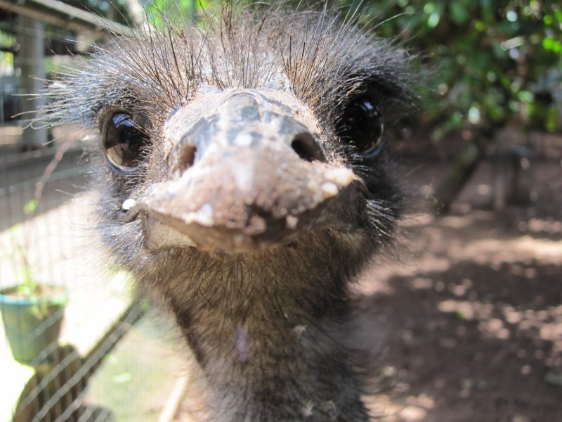 Emu Close-up