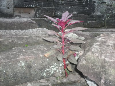 Angkor_BayonFlower.jpg