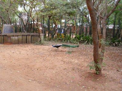 Auroville_Peacock.jpg