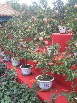 Beijing_AppleBonzai.jpg