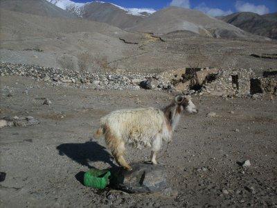 Ladakh_Pan..akeGoat.jpg