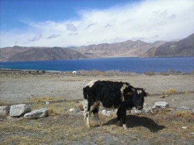 Ladakh_PangongLakeCow.jpg