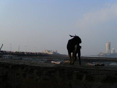 MumbaiHajiAliGoat.jpg