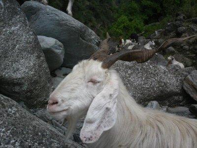 River_Goat.jpg