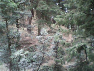 ShimlaForest.jpg