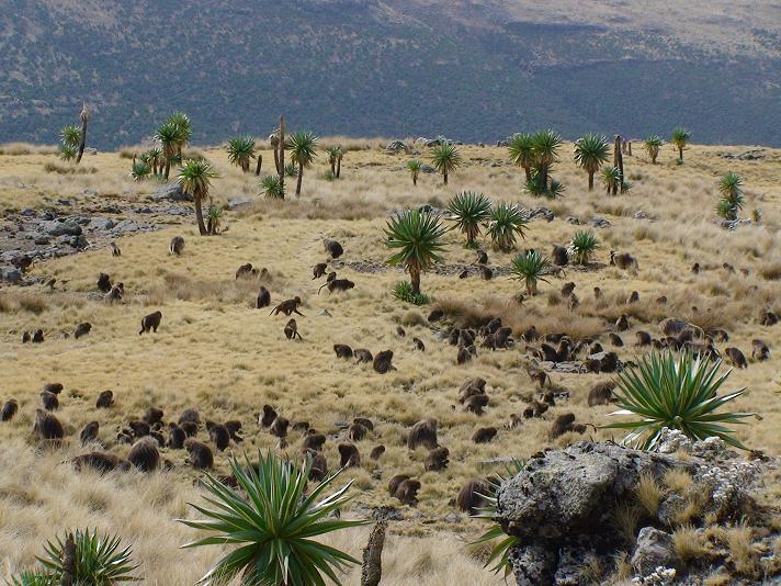 A troop of gelada baboons