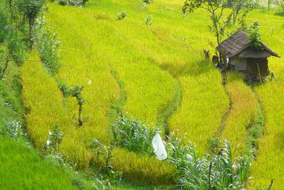 8. Rice fields in Bali