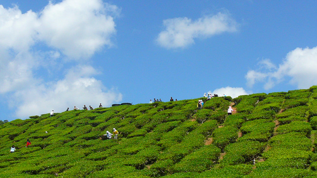 8. Tea in Cameron Highlands