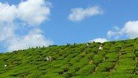 8. Tea in Cameron Highlands