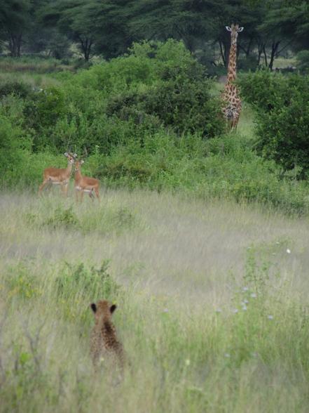 Giraffe watching a cheetah watch some impala