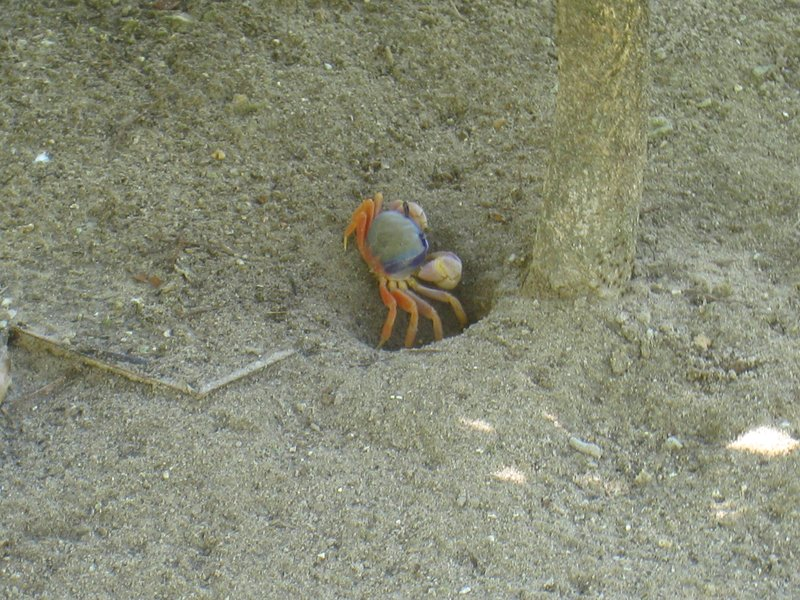 Blue crab at Morro de São Paolo