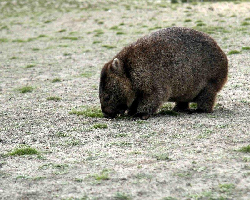 T wombat