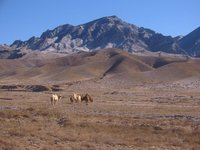 Camels near Yanfu Temple
