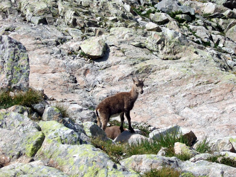 Chamois in the French Alps
