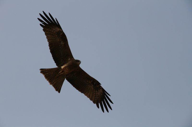 large_Falcon.jpg