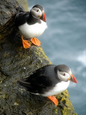 Puffins in the Orkneys