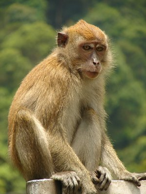 Macaque in the Botanical Gardens 1