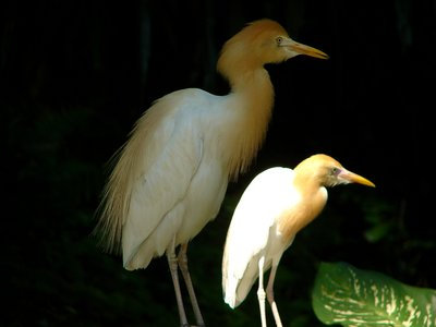 Cattle egrets 2