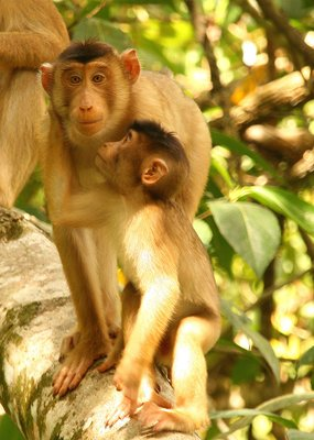 Infant Macaque