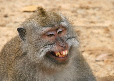 Aggressive macaque