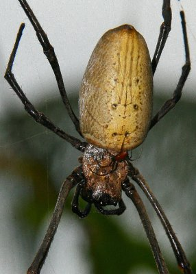 Nephila: man and wife