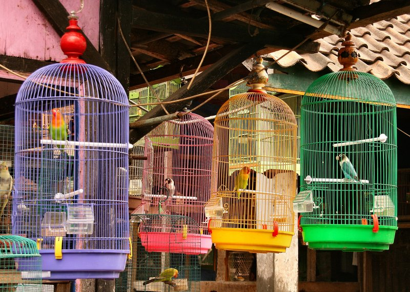 Bird market, Yogyakarta