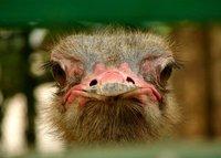 Ostrich 2