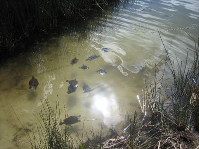 Fraser Island: Turtles in Lake Allom