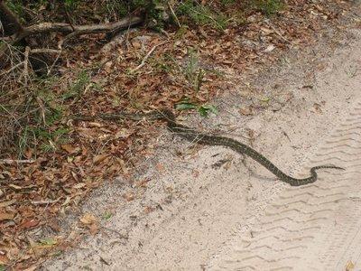 Fraser Island: Diamond Python