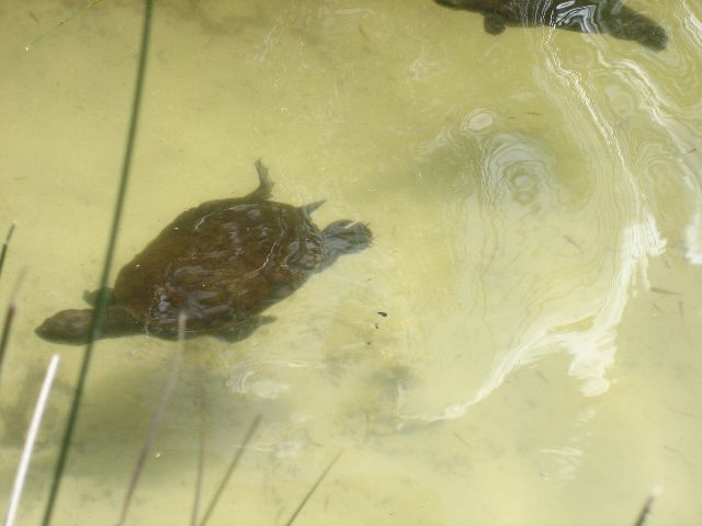 Fraser Island: Turtle in Lake Allom