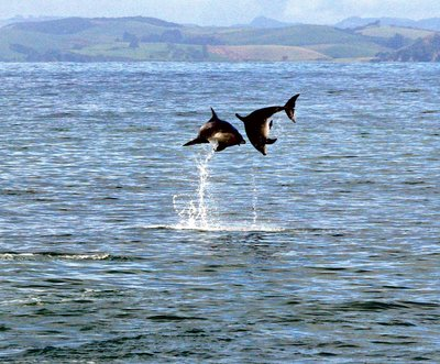 Bay of Islands - Dolphin