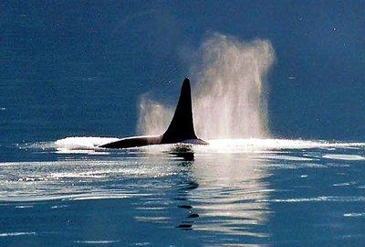 Orca - Juneau - Alaska