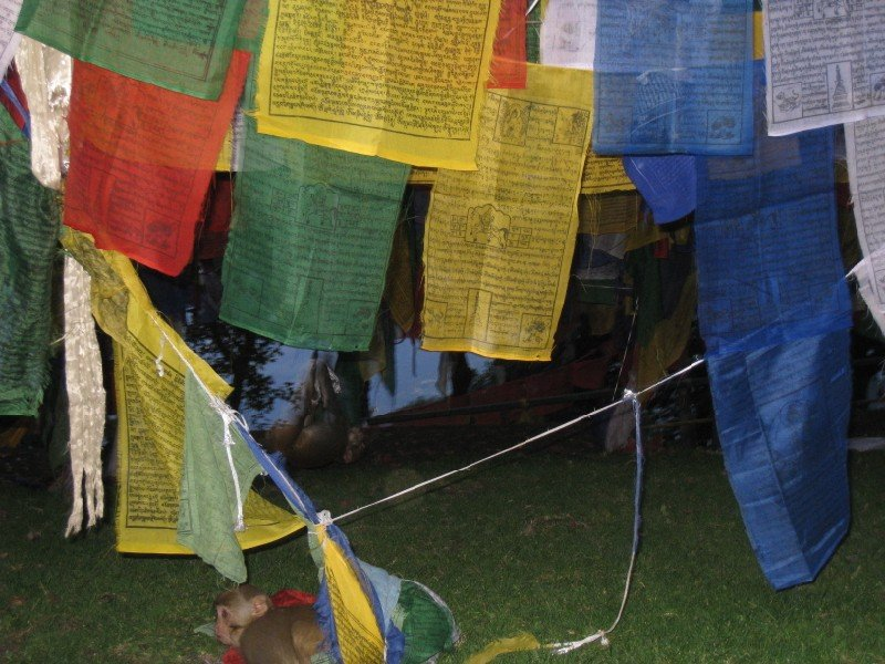 monkeys in prayer flags