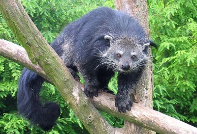 Binturong_in_Overloon.jpg