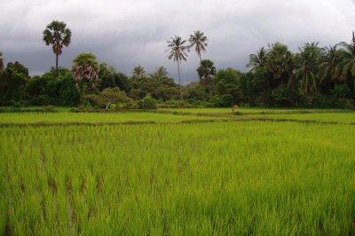 Rice_Field_1.jpg