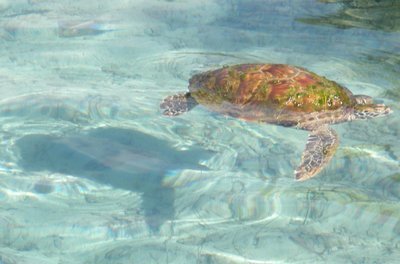 Sea Turtle, Mo'orea