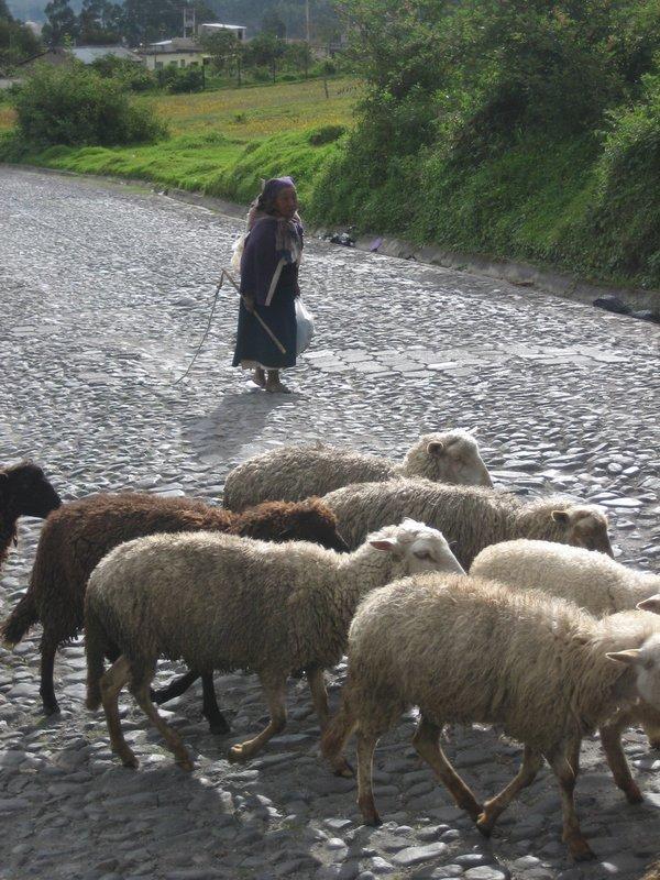 Otavalo - herder