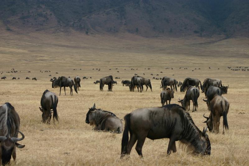 IMG_1404_Tanzania_Ngorongoro_wildebeest