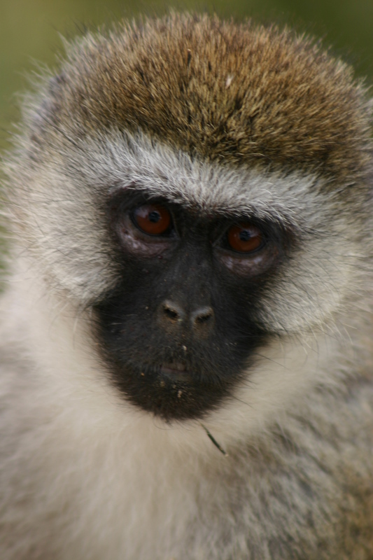 IMG_1695_Tanzania_Ngorongoro_blackface monkey closeup
