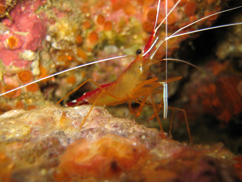 IMG_2356_Similan Island Thailand_Cleaning Shrimp