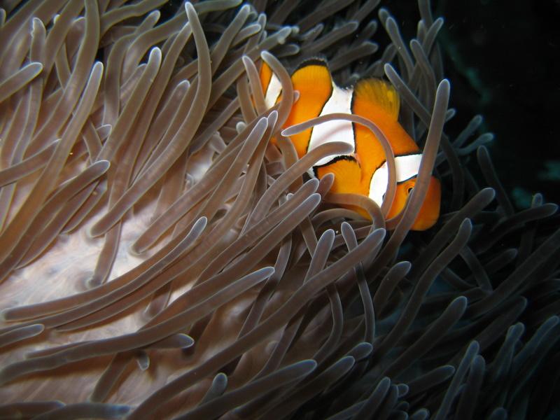 IMG_2363_Similan Island Thailand_I found Nemo